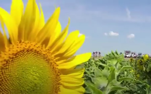 Tour de France break and sunflower (via Twitter video)