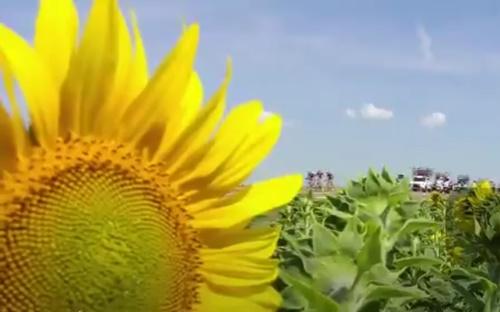Tour de France break and sunflower (via Twitter video)